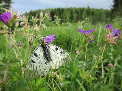 Suuri valkoinen perhonen kukkaniityllä.