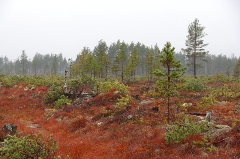 Regnigt myrlandskap med rödskiftande gräs, små tallar och fällda träd.