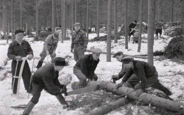 Men are using a hand saw to cut a spruce trunk in a wartime working party, a black and white image.