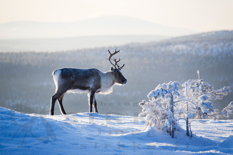 A reindeer is standing on the slope of a snowy fell in a misty winter landscape.