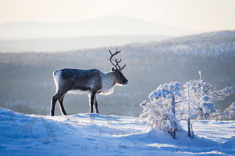 Poro seisoo lumisen vaaran rinteellä utuisessa talvimaisemassa.
