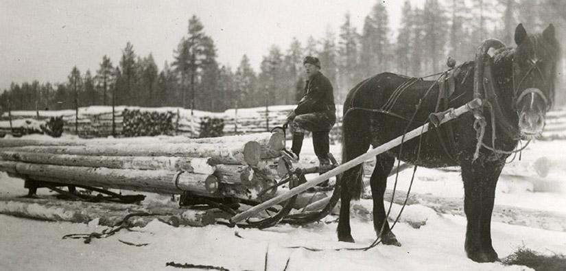 Mannen har laddat hästen för att dra stockarna på släden.