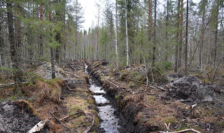 Kunnostusojitusjälkeä metsässä: perattu oja, jossa hieman vettä.