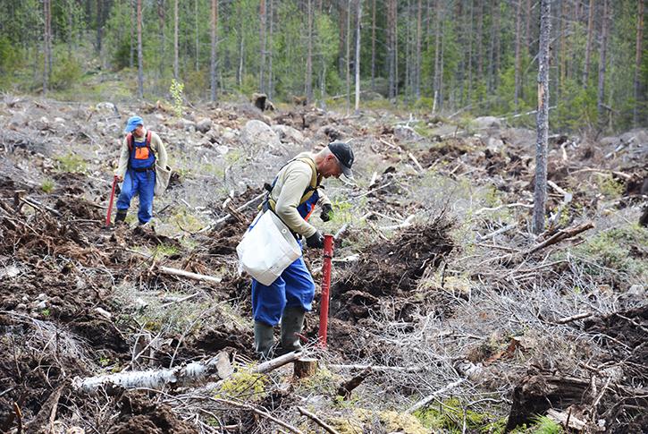 Kaksi metsänistuttajaa istuttaa taimia pottiputkilla muokatulla uudistusalalla