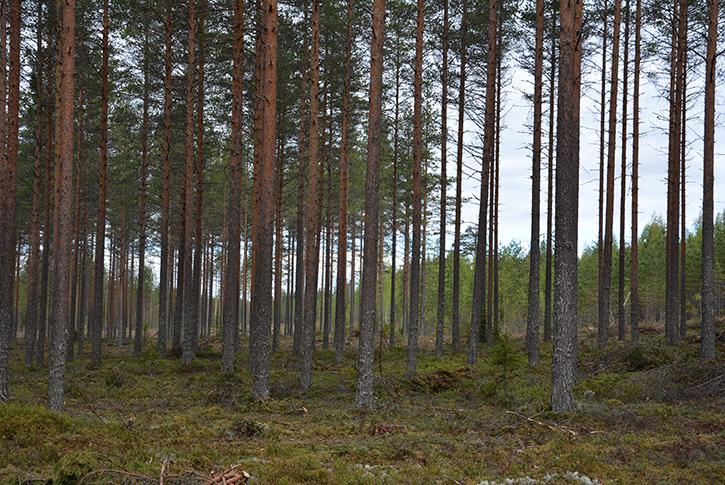 Torr tallmoskog, plantskog visas i bakgrunden.