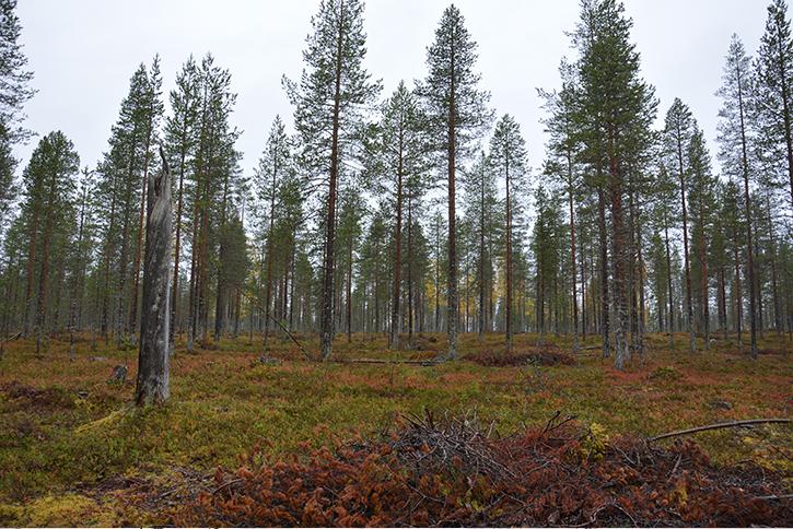 Få tallskogar sett nedifrån.