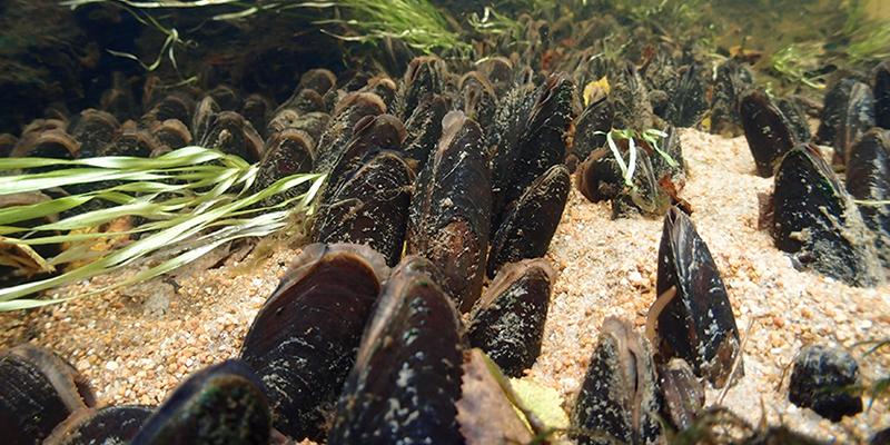 Raakkuja eli jokihelmisimpukoita veden pohjassa ryhmänä.