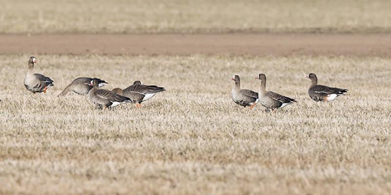 Fåglar, fjällgäss, på en åker.
