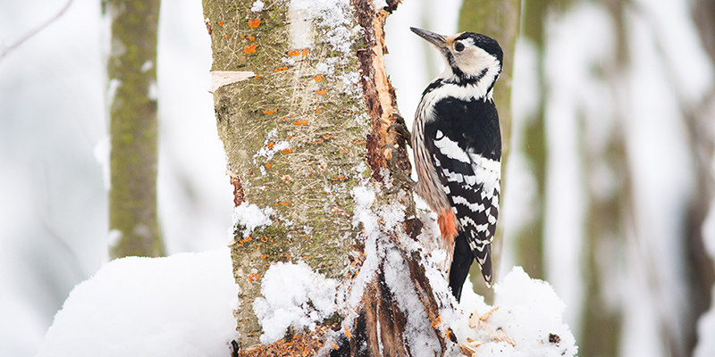 Lintu, valkoselkätikka, pystyssä olevan puun rungolla talvella, osa puun kuoresta poissa linnun nokan edestä.