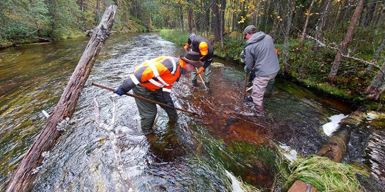 Ihmisiä seisoo puron virtaavassa vedessä siirtämässä pohjasoraa pitkävartisilla työkaluilla.