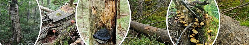 Kuvakollaasi erilaisista lahopuuesiintymistä pökkelöstä maapuuhun.