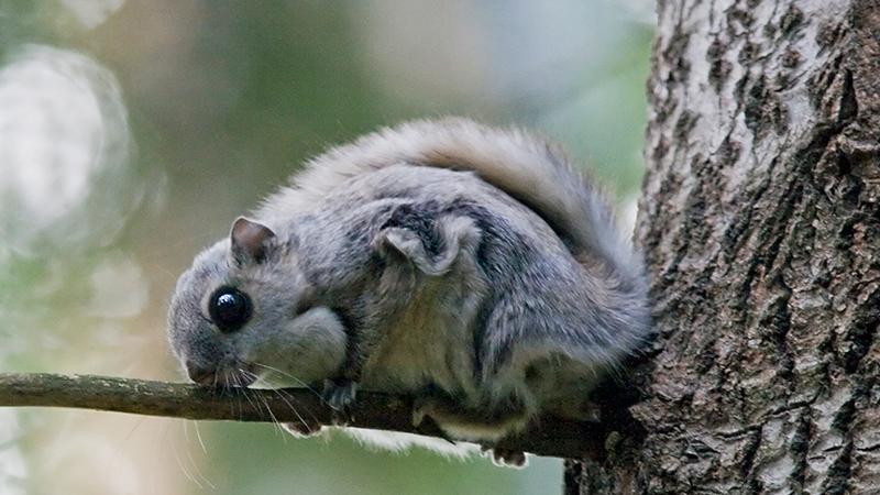 Liito-orava makaa haavanoksalla.