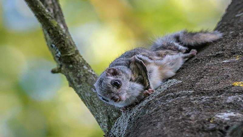 Liito-orava haavan rungolla