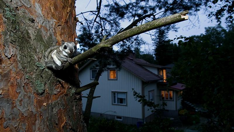 Aikuinen liito-orava puussa, taustalla näkyy omakotitalo lähellä illalla.