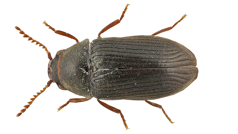 lajikuva haavansahajumi xyletinus tremulicola