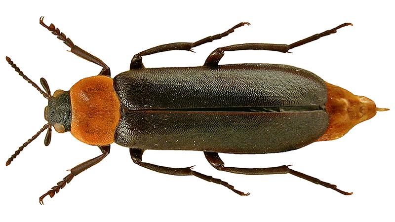 Lajikuva kaskikeijusta phryganophilus ruficollis