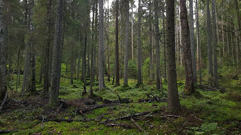 Lähekkäin kasvavia suuria kuusia ja maassa sammalta ja maatuvia puunrunkoja.