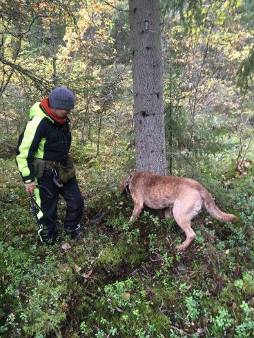 Koira etsii havaintoja liito-oravasta puun juurelta, koiran vieressä on sen ohjaaja