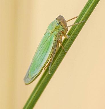 Heinäsirkan tyyppinen hyönteinen kasvin varrella.
