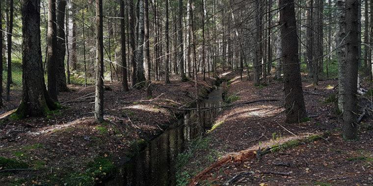 Suora oja metsässä kuusien alla.