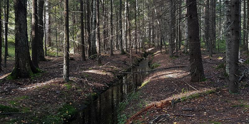 Ett rakt dike i skogen under granar.