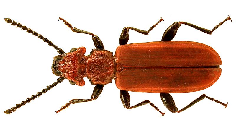 Lajikuva punahäröstä cucujus cinnaberinus