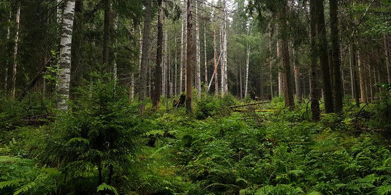 Metsässä kasvaa tiheässä saniaisia sekä kuusia ja muita puita.