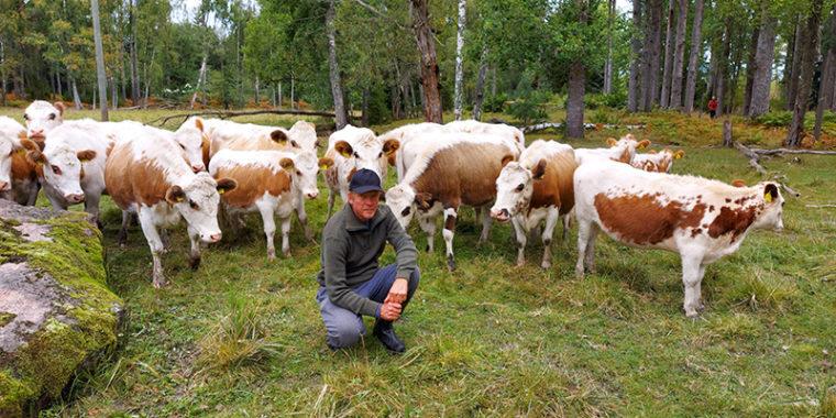 Lehmiä metsälaitumella, niiden edessä mies kyykyssä katsomassa kameraan.