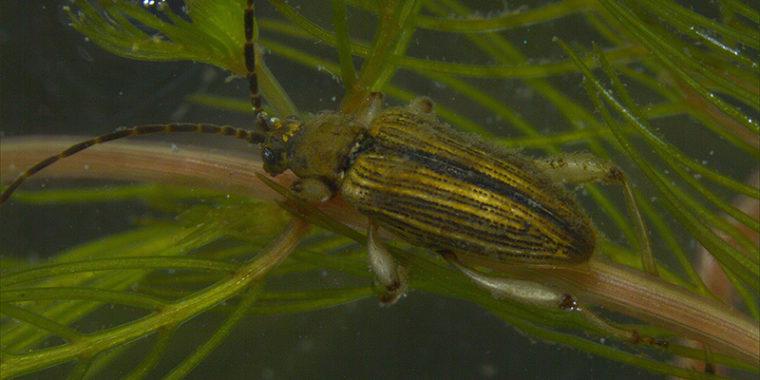 Hyönteinen, raidallinen kovakuoriainen vedenpinnan alla vesikasvin varrella.
