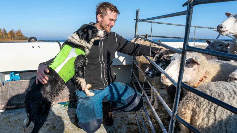 en hund och en man tittar på får, i bakgrunden havet.