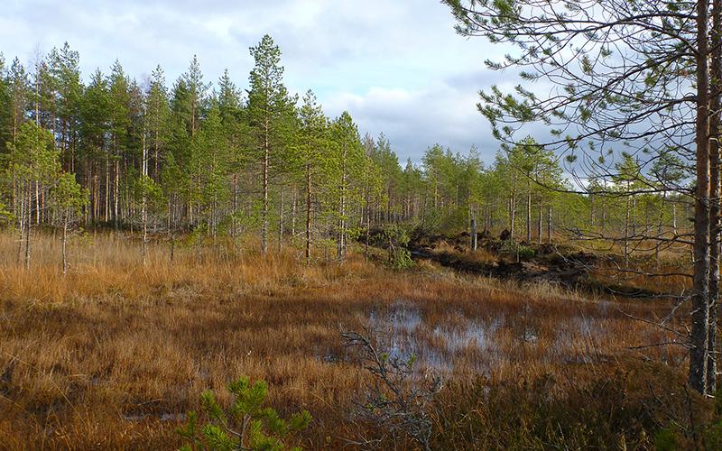 Suomaisema, edessä kostea, puuton alue, takana pieniä mäntyjä ja oja.