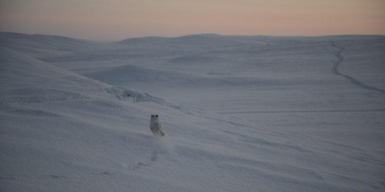 Naali juoksee lumella poispäin kamerasta.