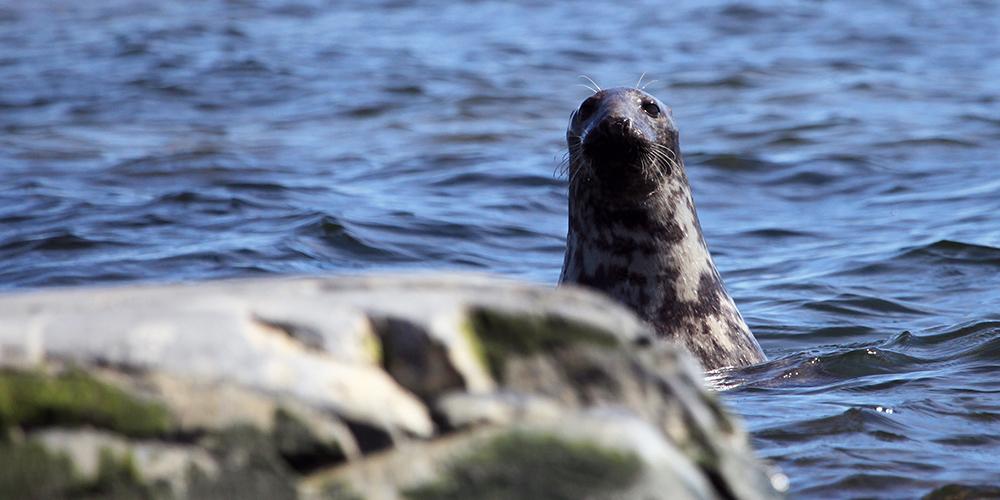 En säl kikar bakom en sten i havet.