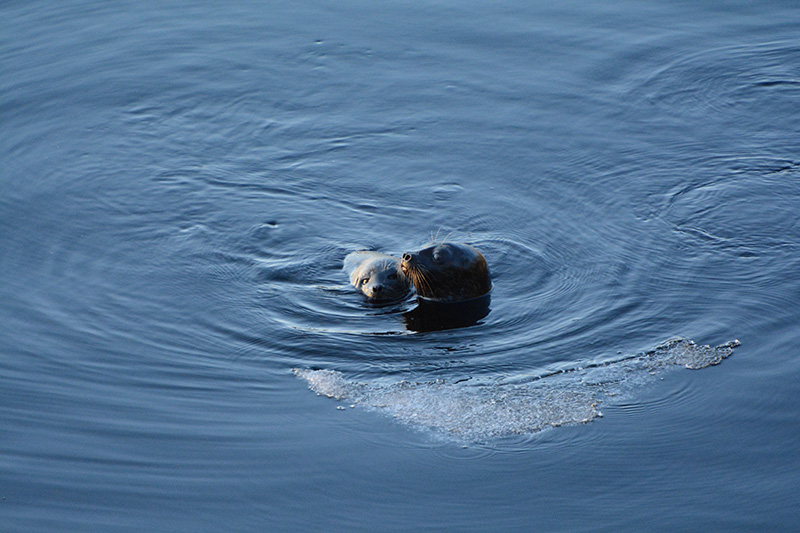Saimaannorppaemo ja kuutti ihan vierekkäin tyynessä järvessä.
