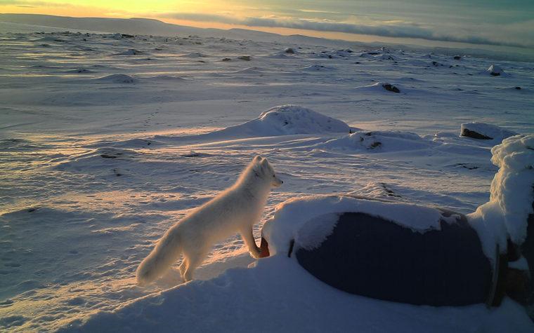 Naali lumisessa tunturimaisemassa seisomassa, taustalla aurinko matalallla tunturin takana.