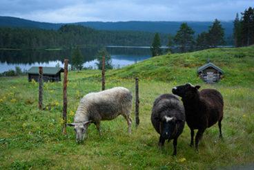Lampaita laitumella, takana lato, joki ja tunturimaisemaa