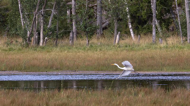 pitkäkaulainen ja pitkäjalkainen haikara lentää matalalla veden pinnan yllä, taustalla rantametsää.