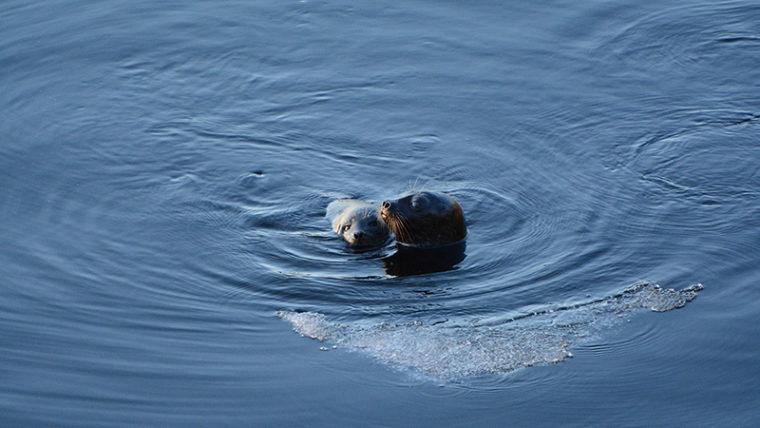 Kaksi hyljettä kurkistaa veden pinnalle, saimaannorppa ja poikanen.