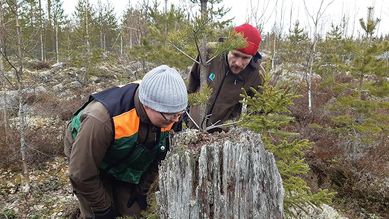 Alue-ekologisen suunnittelun päivitystä tekevien suunnittelijoiden maastokoulutus Äänekosken Kivetyllä. Atte Vehmas ja Rami Mäkelä (takana) tutkivat vanhalla kannolla kasvavaa ryväsjäkälää vuonna 2010 kylvetyssä viljelytaimikossa. Kuva Niklas Björkqvist.