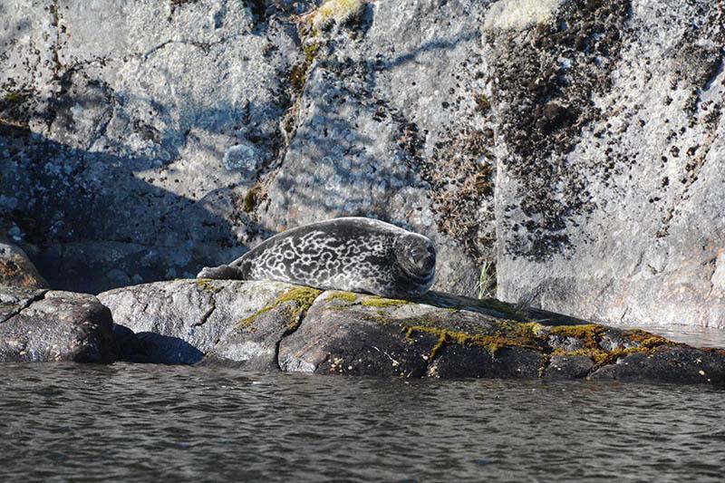 Norppa makoilee kallioseinämän edessä olevalla laakealla kivellä.