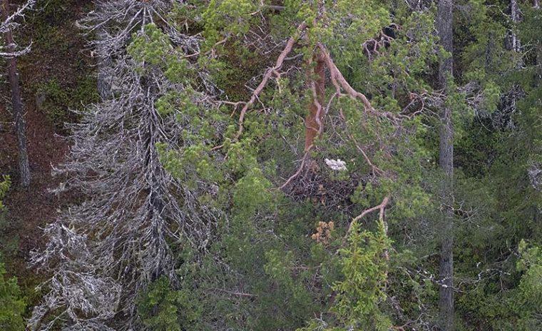 Kaksi linnunpoikasta on korkealla isossa ja vanhassa männyssä olevassa risupesässä.