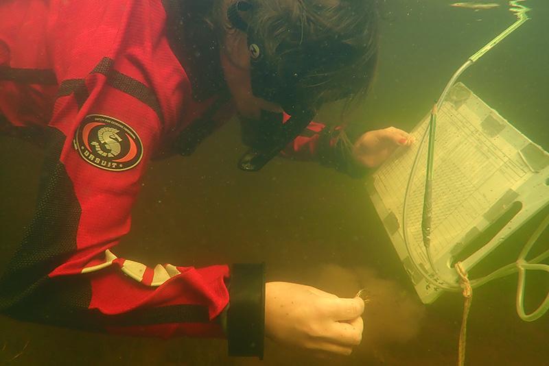 Sukeltaja tutkii veden alla pientä kasvia ja pitää toisessa kädessään kirjoitusalustaa.