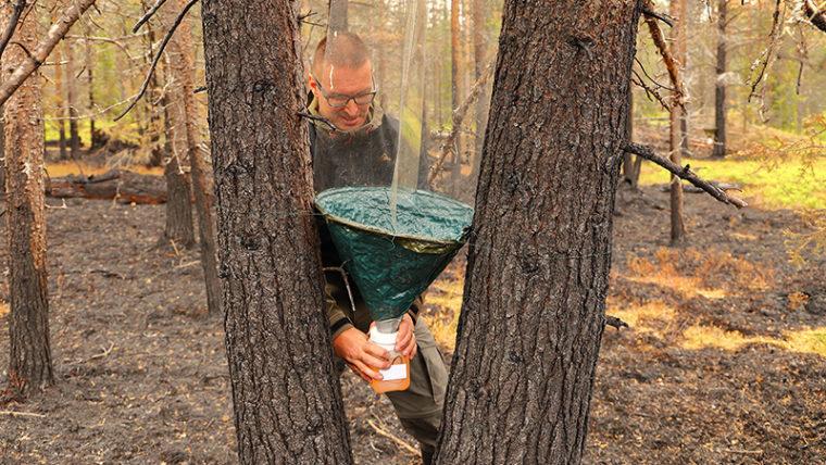 Ihminen seisoo kahden lähekkäisen puun välissä ja laittaa paikoilleen hyönteispyydystä, jossa purkki ja sen päällä tötterön muotoinen pyydys. Maastoa on poltettu.