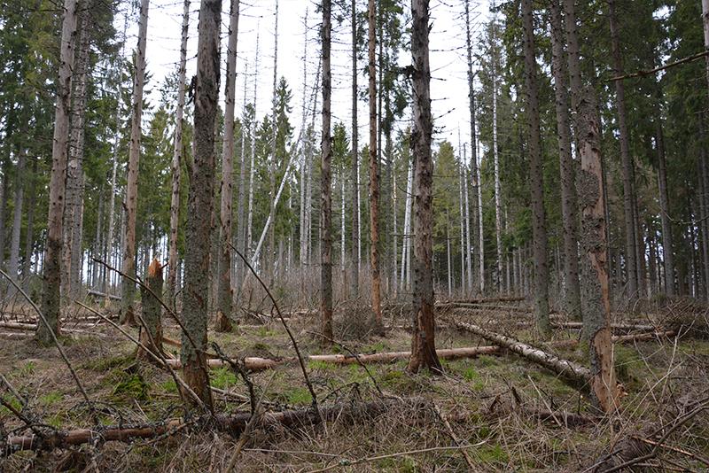 Vetikon metsätuhoalue, kaarnakuoriaisten ja sienitautien tappamia puita. Kuva Keijo Kallunki