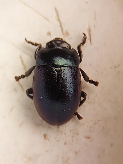 Pyöreämuotoinen tumma kovakuoriainen.