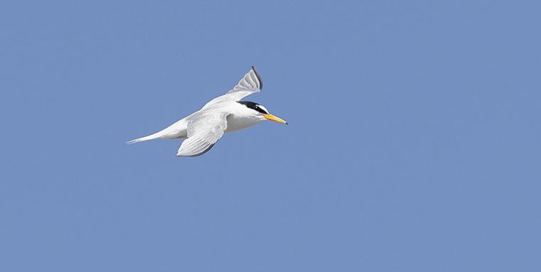 Pieni valkoinen siro lintu lennossa.