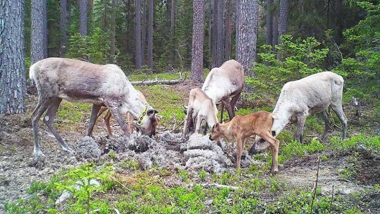 Kolme metsäpeuravaadinta vasoineen metsässä syömässä sinne tuotua jäkälää.