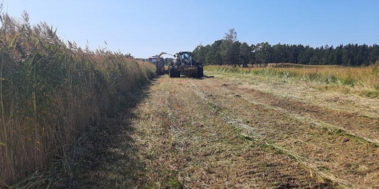 En traktor slår vass som är lika hög som traktorn.