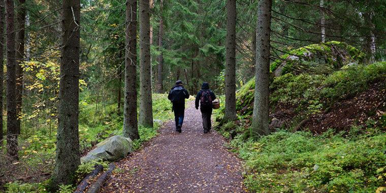 Kaksi ihmistä reput selässä kävelee leveää hiekkapolkua kuusimetsässä, toisella kori käsivarrella.